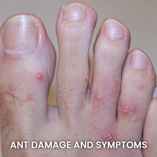 Ant Damage and Symptoms